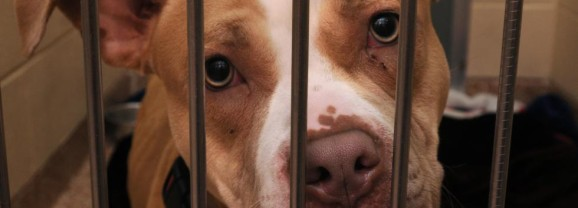 """Who Kicked the Dogs Out? New legislation could mean more homes for pit bulls, other commonly """"blacklisted"""" breeds"""